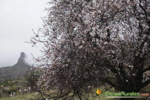 Almendro en flor y Roque Bentayga de fondo